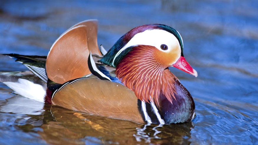 where to see the mandarin duck in nyc